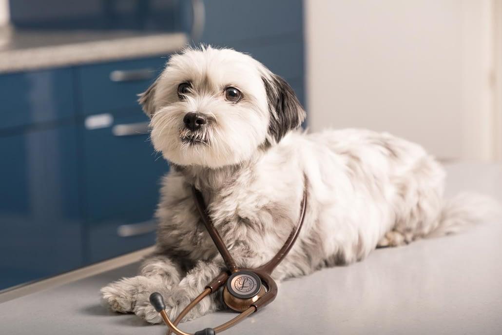 Hund mit auf dem Behandlungstisch mit Stethoskop um den Hals